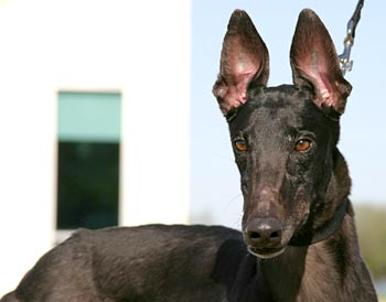 Greyhound Adoption League of Texas, Inc